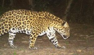Trail camera image of a Jaguar at night in El Pantanoso.