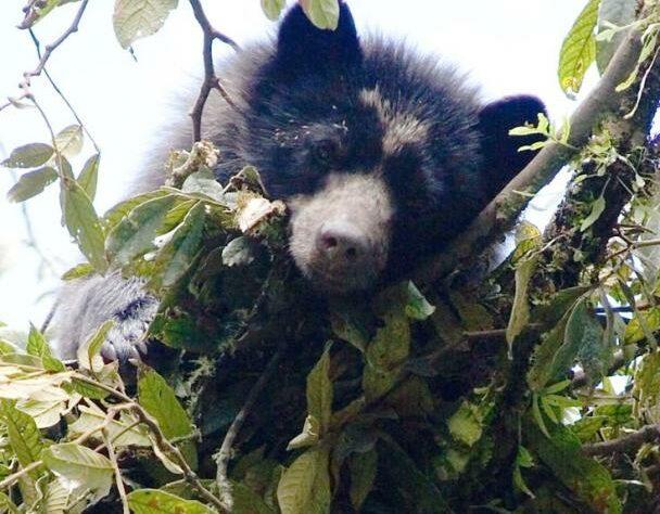 Spectacled Bear in Cerro Candelaria Reserve, Ecuador. Credit Lou Jost