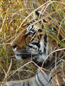 Bengal Tiger, close up.