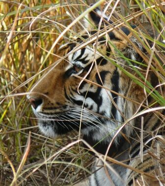 Bengal Tiger, close up.