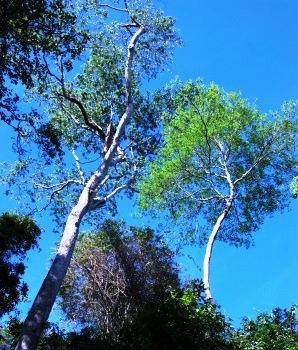 Trees in San Rafael.