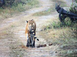 Rear view of a tiger, video film still.