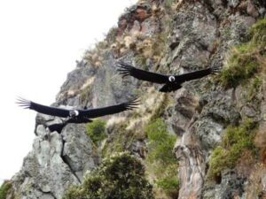Andean Condors in Antisanilla.