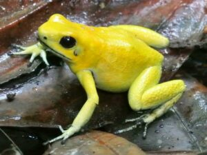 Golden Poison Frog in the Chocó forest of Colombia.