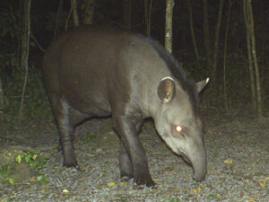 El Pantanoso is home to Lowland Tapir, also known as South American Tapir and Brazilian Tapir (Tapirus terrestris).