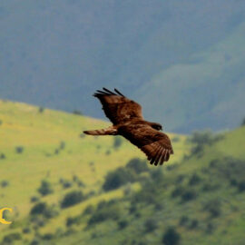 A Buzzard soars over the Caucasus Wildlife Refuge, Armenia. Credit Manuk Manukyan (FPWC)
