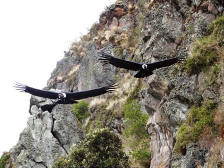 Andean Condors Antisanilla