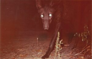 Black Maned Wolf