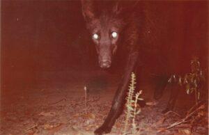 Black Maned Wolf