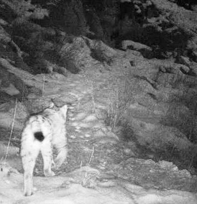 Caucasian Lynx on a mountain trail.