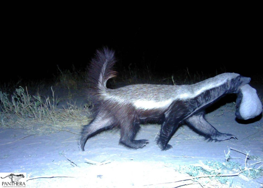 Honey-Badger-mother