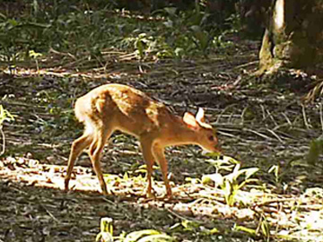 Gray Brocket Deer fawn