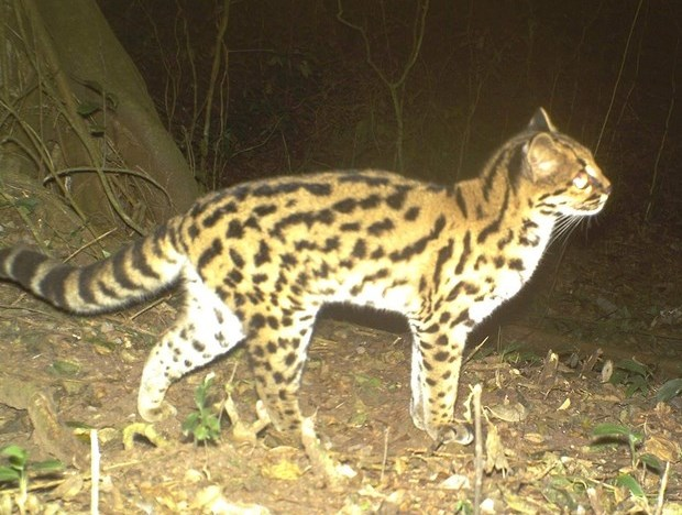 Margay Camera Trap.