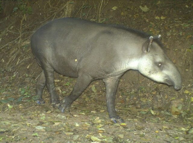 Trail camera image of a Tapir in El Pantanoso.
