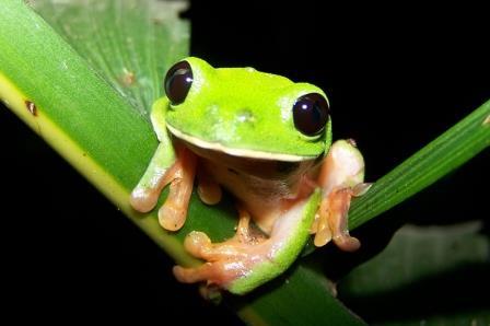 Black-eyed Tree Frog.