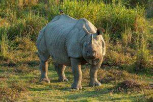 Indian Rhinoceros.