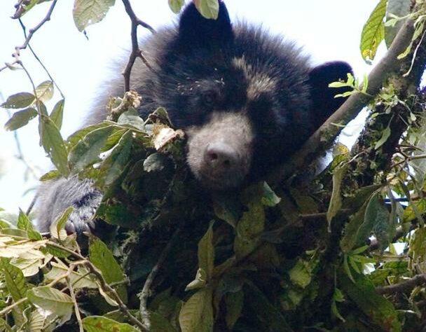 rs4817_spectacled_bear_2007_fundacion_ecominga_candelaria_reserve_c_lou_jost.jpg