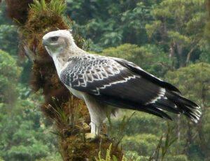 Black-and-chestnut Eagle.