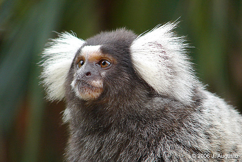 common-marmoset