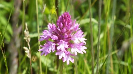 Pyramidal Orchid.