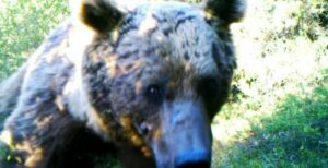 Syrian Brown Bear.