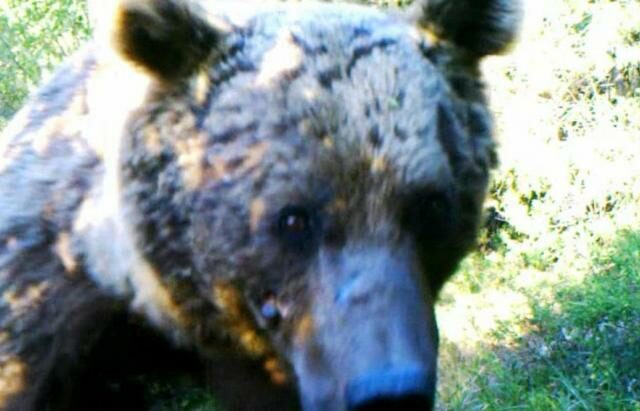 Syrian Brown Bear.