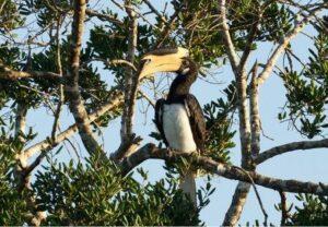Malabar Pied Hornbill.
