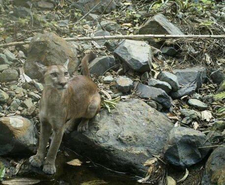Puma resting on a rock.