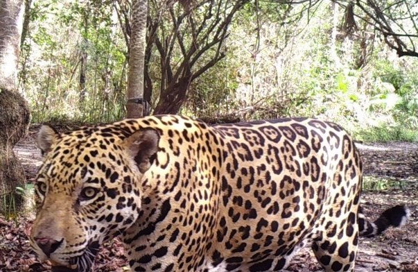 Jaguar at Three Giants.