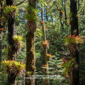 Bromeliads cling to trees in Sierra Gorda.