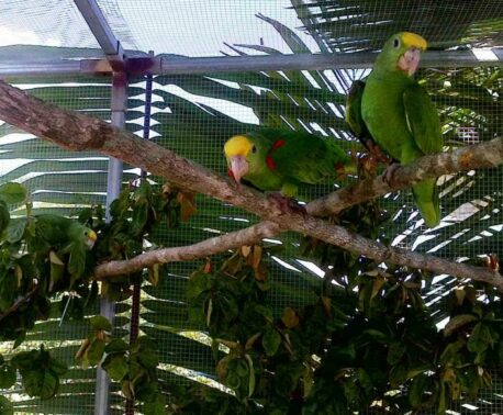 Yellow-headed Parrots in flight cage.
