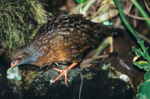 Bearded Wood Partridge.