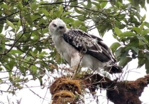 Black-and-chestnut Eagle chick at Rio Zunac.