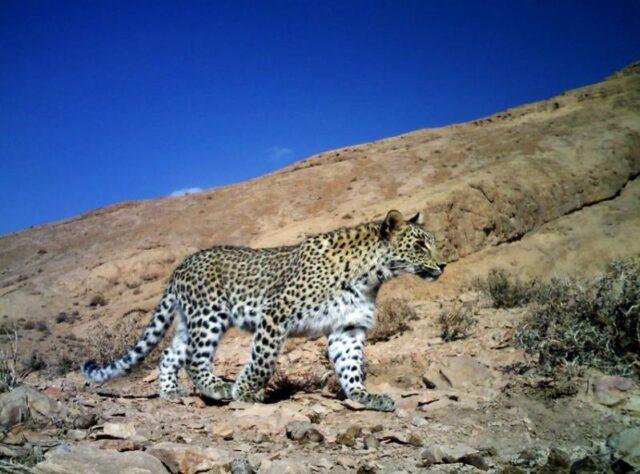 Caucasian Leopard.