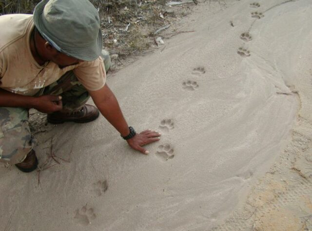 Jaguar prints in Belize.