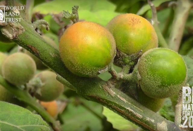 Naranjilla fruit