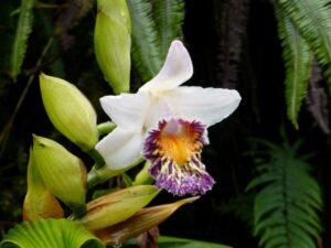Sobralia luerorum, a spectacular orchid.