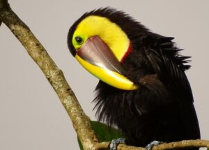 Chestnut-Mandibled toucan.