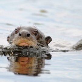 Giant Brazilian Otter swimming