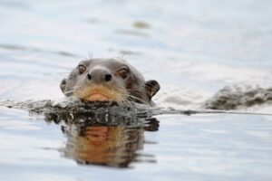 Giant Brazilian Otter swimming
