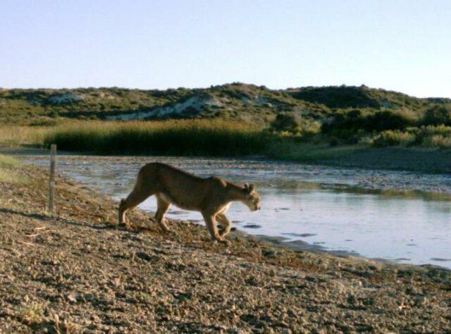 Puma at waters edge, La Esperanza