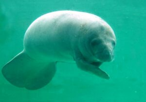 West Indian Manatee.