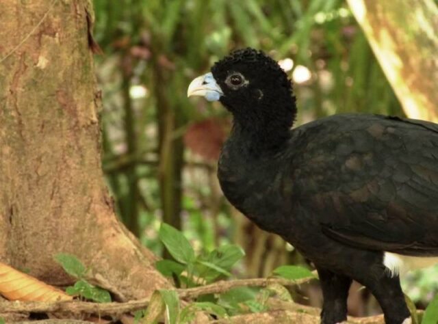 Blue-billed Currasow.