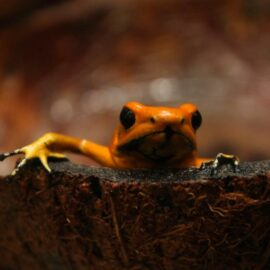Golden Poison Frog.
