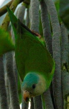 grey-cheeked-parakeet