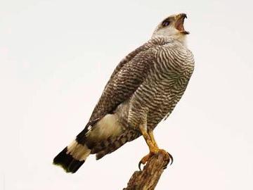 Grey-backed Hawk.