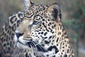 Close up of Jaguar.