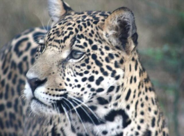 Close up of Jaguar.