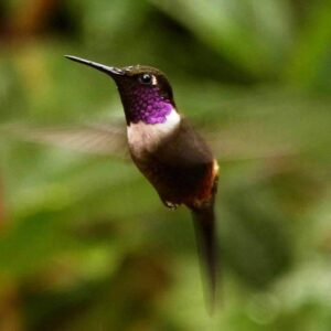 purple-throated-woodstar