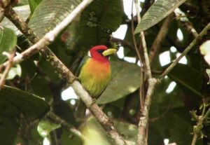 Red-headed-Barbet-male